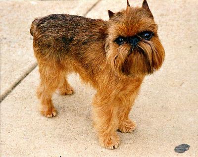 Griffon Bruxellois Brown Dog Breeds