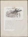 Buceros scutatus - 1872 - Print - Iconographia Zoologica - Special Collections University of Amsterdam - UBA01 IZ19300123.tif