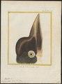 Buceros scutatus - kop - 1700-1880 - Print - Iconographia Zoologica - Special Collections University of Amsterdam - UBA01 IZ19300125.tif