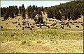Buffalo, Custer State Park 1981 (8229706497).jpg