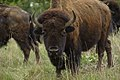 Buffalo are abundant at Stasney's Cook Ranch in Albany, Texas. (25017135971).jpg