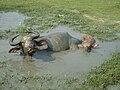 Buffalo bath.JPG