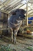 Buffalo in Tả Phìn.jpg