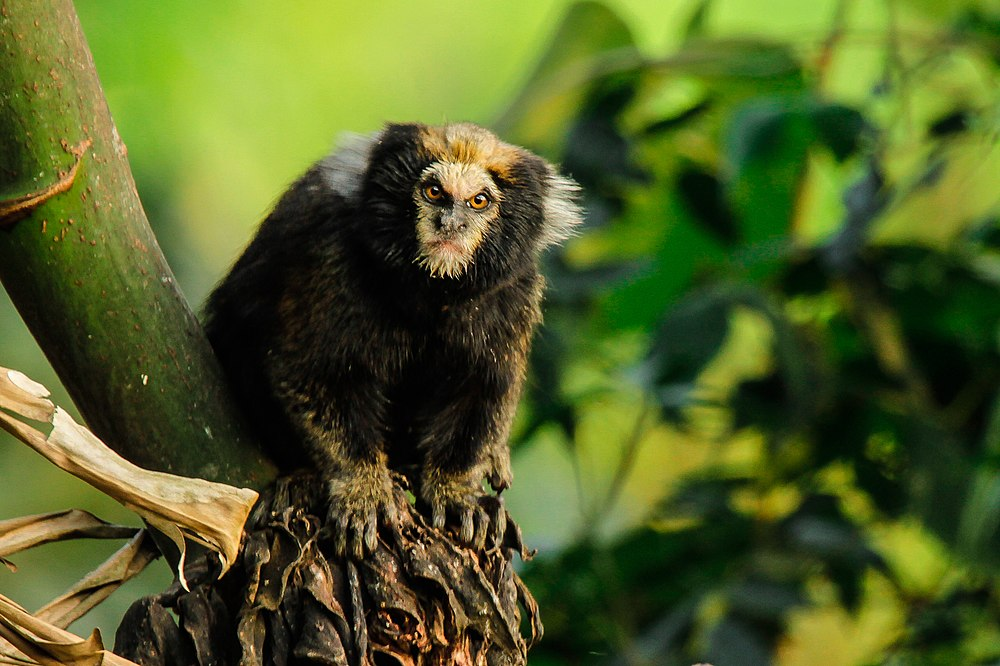 The average litter size of a Buffy-tufted marmoset is 2