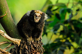 Buffy-tufted marmoset (Callithrix aurita).jpg