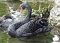 Bulgaria Black Swan 04.jpg