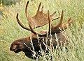 Bull Moose on Seedskadee National Wildlife Refuge (20933837379).jpg