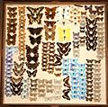 Butterflies Southend Collection.jpg