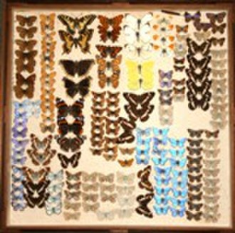 Southend Central Museum - Image: Butterflies Southend Collection