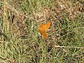 Butterfly - panoramio (4).jpg
