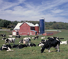 black and white spotted cows grazing in a field, with a red barn and house in the background, and a tree line further behind
