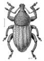 COLE Curculionidae Mandolotus.png