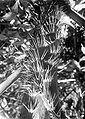 COLLECTIE TROPENMUSEUM Een rotan stam (Plectocomia elongata) in de bergtuin van 's Lands Plantentuin te Tjibodas West-Java TMnr 10011488.jpg