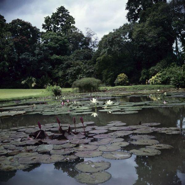 File:COLLECTIE TROPENMUSEUM Vijver met Victoria regia in de Kebun Raya Bogor TMnr 20025529.jpg