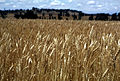 CSIRO ScienceImage 1765 Field of wheat.jpg
