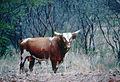 CSIRO ScienceImage 2641 Northern Australian Shorthorn Bull.jpg