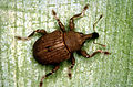 CSIRO ScienceImage 2703 Waterhyacinth weevil Neochetina bruchi.jpg