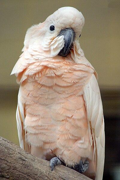 Что ОБЯЗАТЕЛЬНО нужно знать о Какаду 401px-Cacatua_moluccensis_-Kuala_Lumpur_Bird_Park-8a