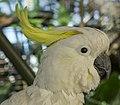 Cairns White Cockatoo-2 (15832132087).jpg