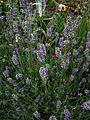 Callirhoe involucrata - Flickr - peganum (8).jpg