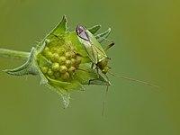 Calocoris affinis.jpg