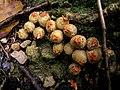 Calostoma japonicum P.Henn.クチベニタケ(クチベニタケ科クチベニタケ属) Akiyoshi Matsuoka.jpg