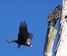 riding the black cockatoo analysis