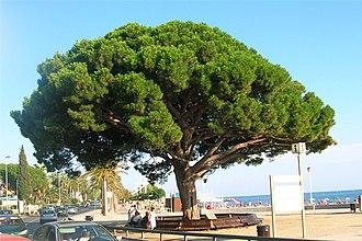 Cambrils - Pi Rodó pine beside a beach.