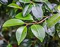 Camellia japonica in Hackfalls Arboretum (2).jpg