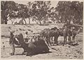Camels with their keeper at Wilcannia during low river, New South Wales (6173518727).jpg