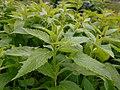 Campanula latifolia 2017-05-07 0170.jpg
