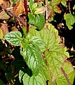 Campanula trachelium ENBLA05.jpg