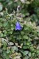 Campanules à feuilles rondes-Campanula rotundifolia-Tourbière flottante-20141011.jpg