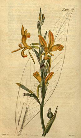 Canna pedunculata Bot. Mag. 49. 2323. 1822