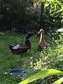 Canne et canard de chatsam.jpg