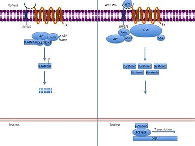 canonical notch signaling pathway Notch signaling can occur through a canonical pathway that results in the activation of hes gene expression by a complex consisting of the notch intracellular domain, suh, and the mastermind co-activator.