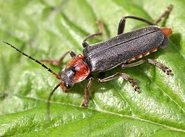 Cantharis fusca 01.jpg