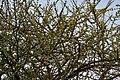 Canthium coromandelicum near Hyderabad W IMG 7610.jpg