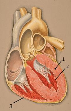 Corazón cual es función del