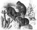 Cape Hyrax, Gustav Hayek, 1876.png