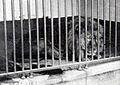 Cape Lion.jpg