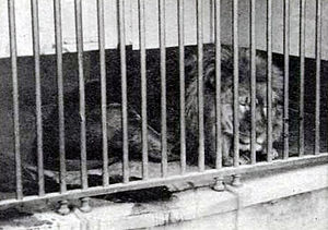 Cape lion - Only known photo of a live Cape lion, ca. 1860, Jardin des Plantes, Paris