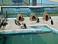 Cape Penguins in Shima Marineland.jpg