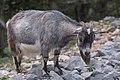 Capra aegagrus (Chèvre sauvage) - 62.jpg