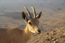 Capra ibex nubiana near Mitzpe Ramon in summer 2011 (4).JPG