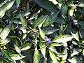 Capsicum annuum - J. C. Raulston Arboretum -.JPG