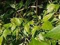Capsicum frutescens 'Piri-piri' (6674324785).jpg