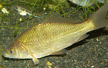 A pale yellow and silver fish, with grayish fins and a dark eye, facing left