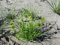 Carex bohemica sl32.jpg