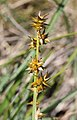Carex echinata inflorescens (18).jpg